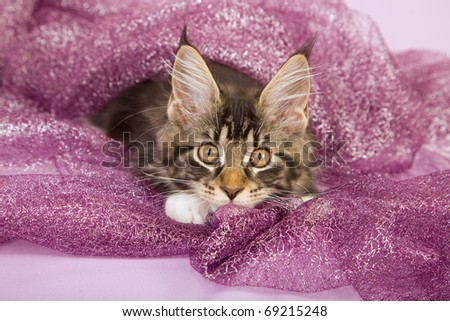 Maine Coon kitten on lilac purple background - stock photo
