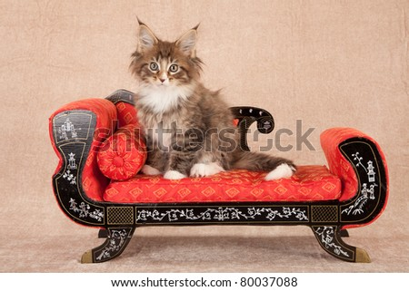 Maine Coon kitten on red couch sofa chaise on beige background - stock photo