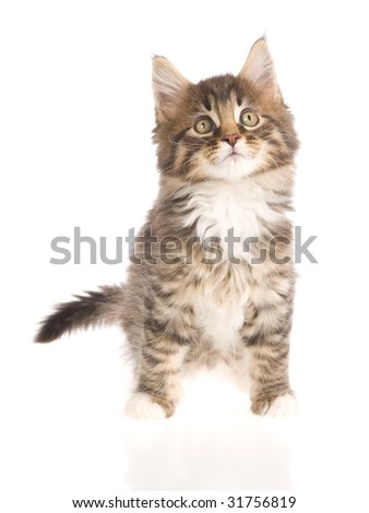 Maine Coon kitten on white background