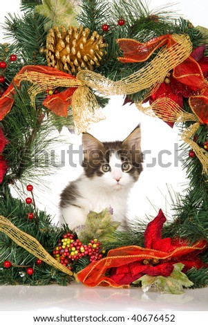 Maine Coon kitten on white background with colorful Christmas wreath - stock photo