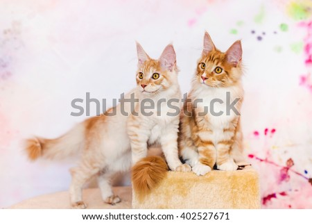 Maine coon kitten pair. Maine coon cat couple. Maine coon orange color. Maine coon red tabby kitten. Maine coon portrait. - stock photo