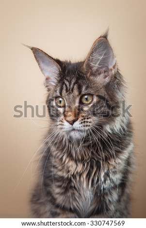 Maine Coon kitten portrait on a color background