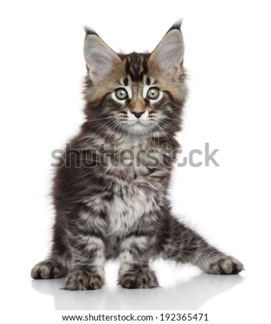 Maine Coon kitten. Portrait on a white background