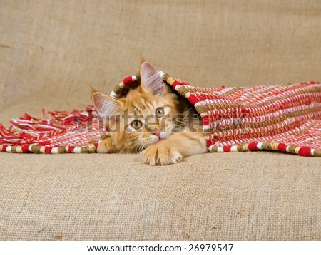 Maine Coon kitten, red tabby, lying under red woven rug, on hessian burlap background