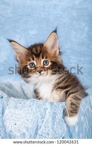 Maine Coon kitten sitting inside blue container with blue scarf on blue background - stock photo