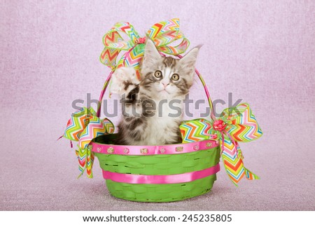 Maine Coon kitten sitting inside green round basket with chevron printed Spring theme ribbon on light pink background  - stock photo