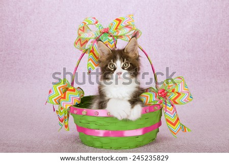 Maine Coon kitten sitting inside green round basket with chevron printed Spring theme ribbon on light pink background