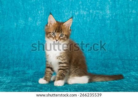 Maine Coon kitten sitting on blue background  - stock photo