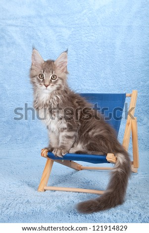 Maine Coon kitten sitting on miniature blue deck chair on blue background - stock photo