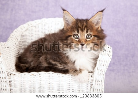 Maine Coon kitten sitting on miniature chair on lilac purple background - stock photo