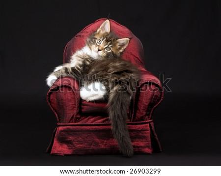 Maine Coon kitten sitting on miniature chair sofa on black background - stock photo