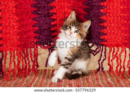 Maine Coon kitten sitting on red carpet rug against red purple fringed blanket