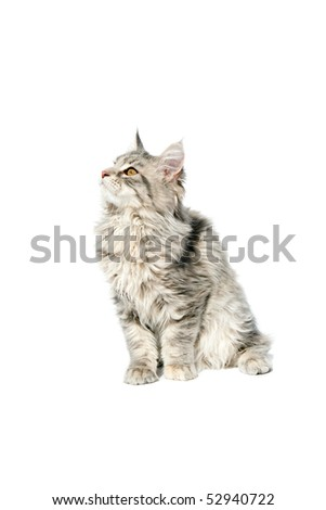 Maine coon kitten sitting on white background - stock photo