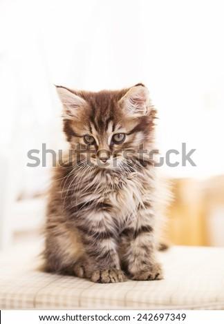 maine coon kitten. small depth of field (DOF) - stock photo