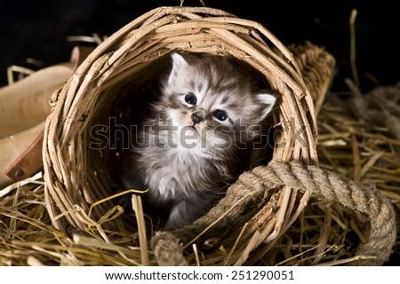 Maine Coon kitten. Studio shot - stock photo