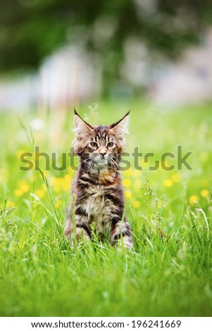 maine coon kitten walking outdoors