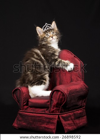 Maine Coon kitten wearing diamond tiara crown standing on miniature red chair on black background - stock photo