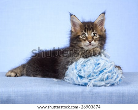 Maine Coon kitten with blue ball of wool yarn on blue background