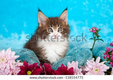 Maine Coon kitten with fresh flowers on blue  background