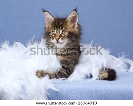 Maine Coon kitten with white feather boa on blue background