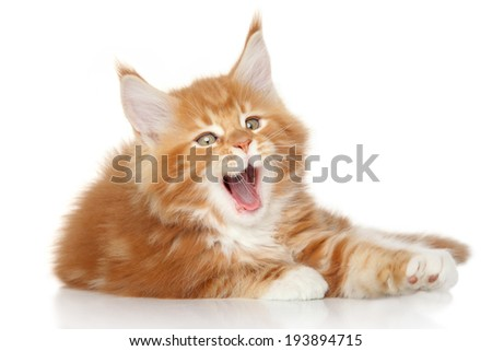 Maine Coon kitten yawn on white background