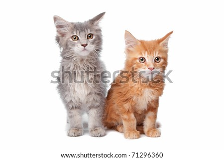 Maine Coon kittens - stock photo