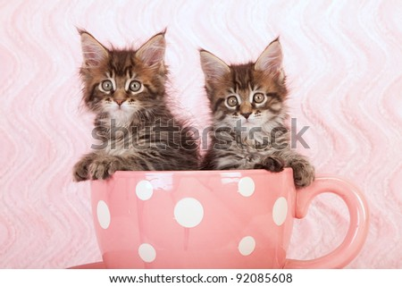 Maine Coon kittens in large pink cup on pink background - stock photo