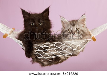 Maine Coon kittens in white hammock on pink background
