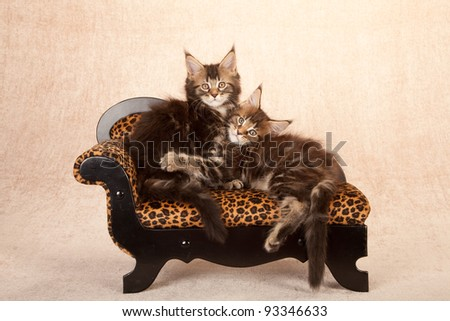 Maine Coon kittens on animal print chaise couch sofa on beige background - stock photo