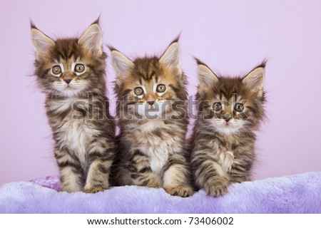 Maine Coon kittens on lilac background - stock photo
