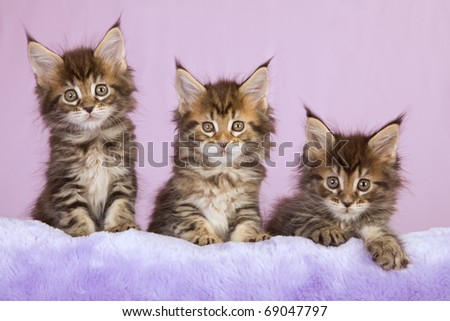Maine Coon kittens on lilac purple faux fur cushion - stock photo