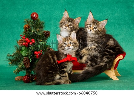 Maine Coon kittens on mini sofa with Christmas tree - stock photo