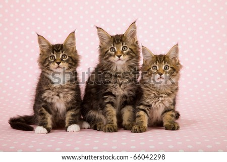 Maine Coon kittens on pink background - stock photo