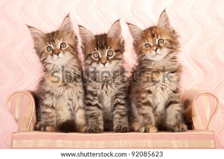 Maine Coon kittens on pink couch sofa on pink background