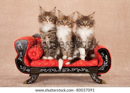 Maine Coon kittens on red couch sofa chaise on beige background - stock photo
