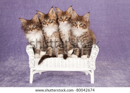 Maine Coon kittens on wicker chair on lilac background - stock photo