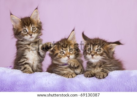 Maine Coon kittens playing on purple cushion