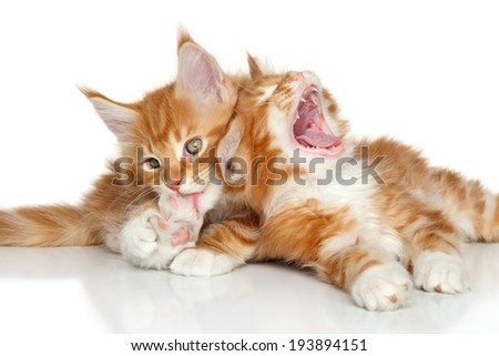 Maine Coon kittens playing. Portrait on a white background