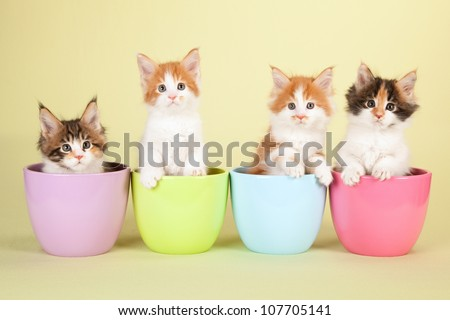 Maine Coon kittens sitting in pastel pots on yellow green background