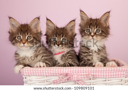 Maine Coon kittens sitting in white wicker basket on lilac pink background