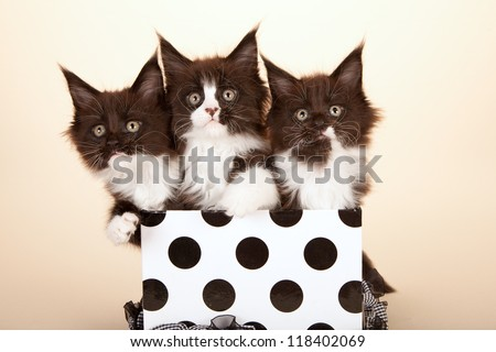 Maine Coon kittens sitting inside black and white polka dot  gift box on beige background - stock photo