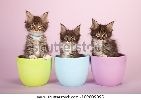 Maine Coon kittens sitting inside bowls containers on lilac pink background