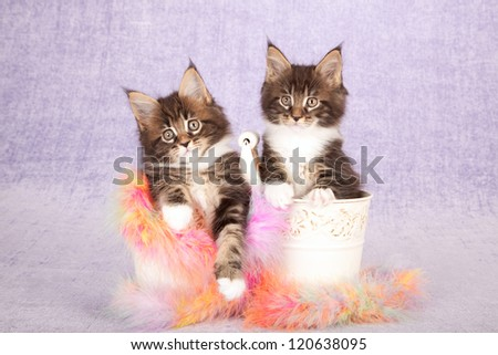 Maine Coon kittens sitting inside buckets pails with colorful feather boa on lilac purple background - stock photo