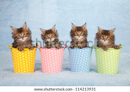 Maine Coon kittens sitting inside colorful pails buckets on blue background - stock photo