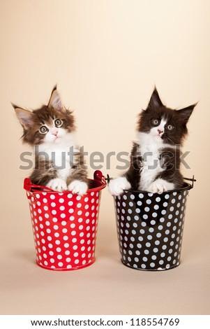 Maine Coon kittens sitting inside polka dot pail bucket on beige background - stock photo