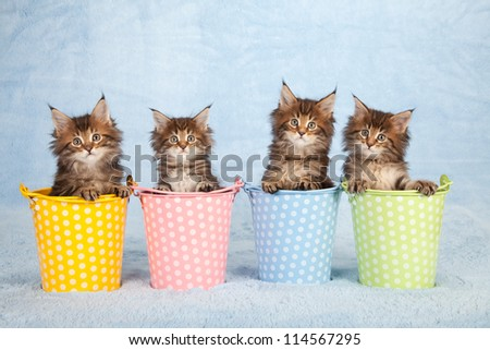 Maine Coon kittens sitting inside polka dot pastel pails buckets on blue background - stock photo