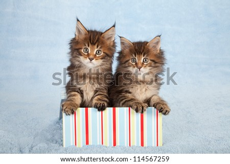 Maine Coon kittens sitting inside striped gift box container on blue background - stock photo