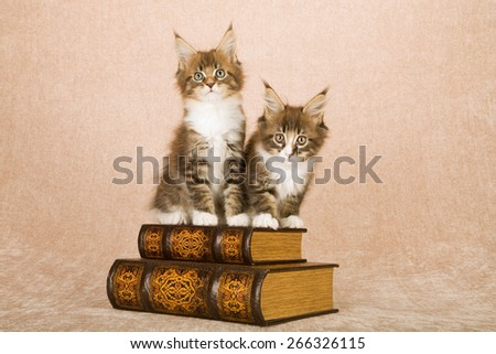 Maine Coon kittens sitting on leather bound books against beige background  - stock photo