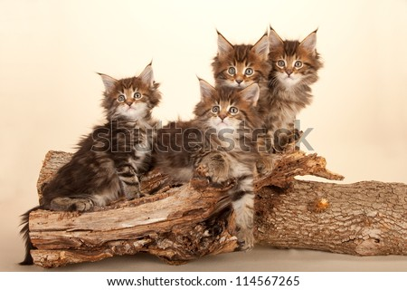 Maine Coon kittens sitting on wooden log branch on beige background - stock photo