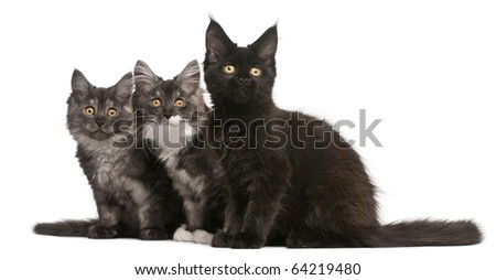 Maine Coon Kittens, 12 weeks old, sitting in front of white background - stock photo